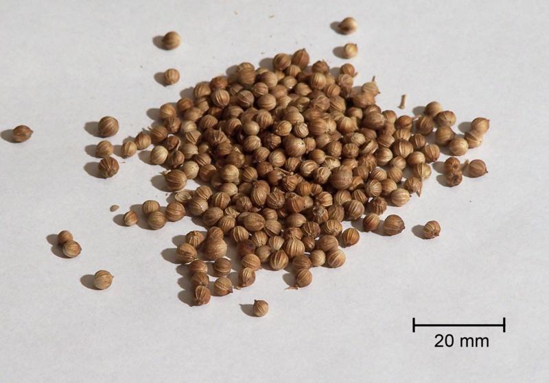coriander, koriander,kolendra,nasiona,