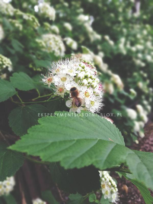 rośliny miododajne,pszczoły,pożytki,zapylacze,pomagamy,
