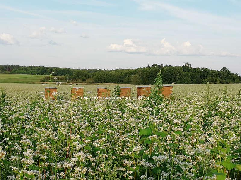 gryka, kasza, pole, pasieka, pszczoły,