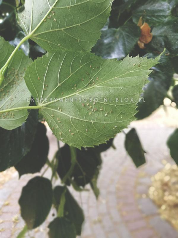 rośliny miododajne,pszczoły,pożytki,zapylacze,pomagamy,spadź,mszyce,