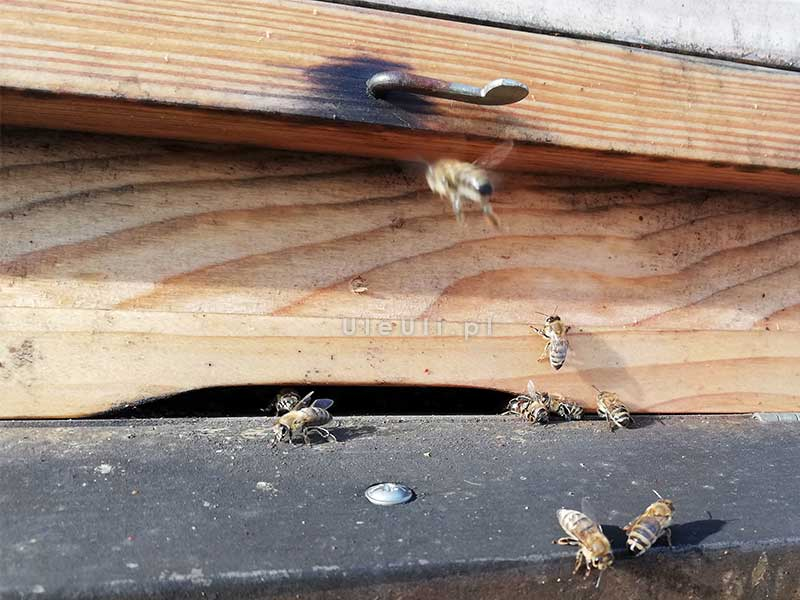 uleuli, zimowy oblot, pszczoły, wylotek,