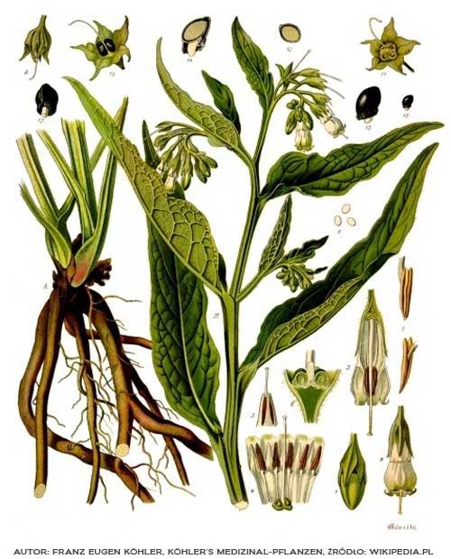 Symphytum officinale, Franz Eugen Köhler, Köhler's Medizinal-Pflanzen