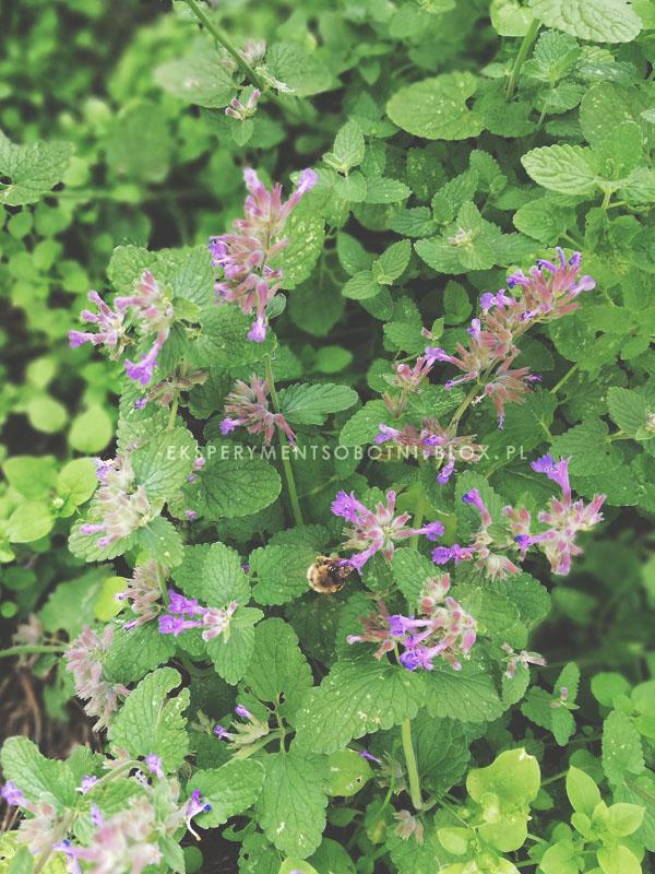 rośliny miododajne,pszczoły,pożytki,zioła,ogród, dla zapylaczy,