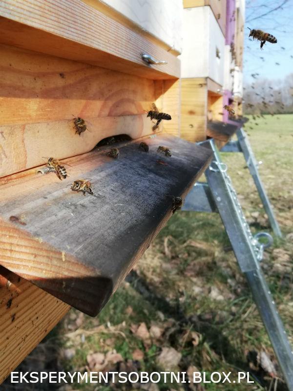 pierwszy oblot,pszczoły, wiosna, ule, pasieka,