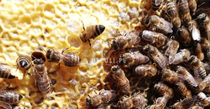 pszczoły, wiosna, ramka, pierwszy przegląd,, ocena zapasów,