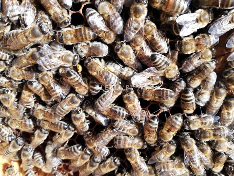 pszczoły, wiosna, ramka, pierwszy przegląd,