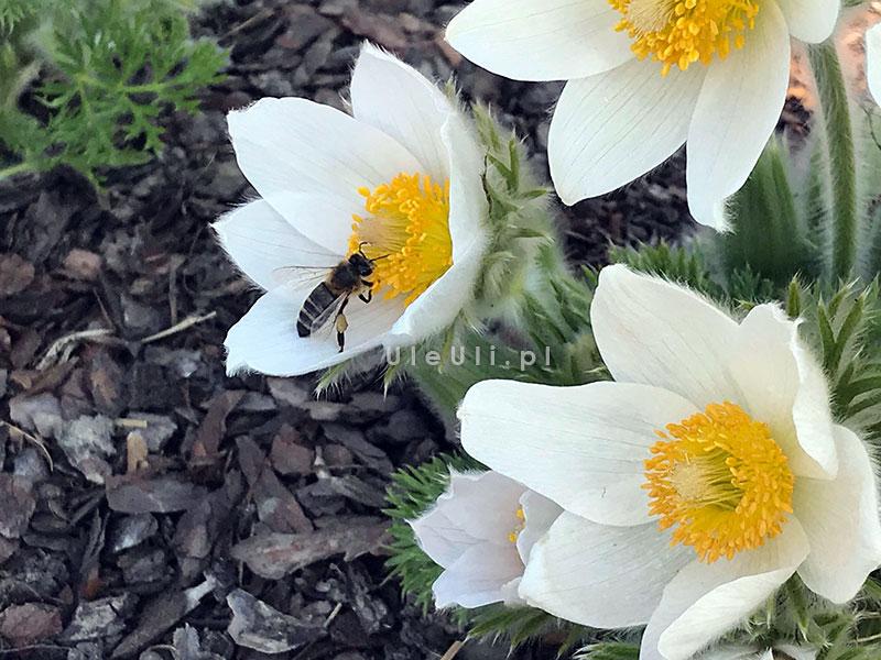 wczesne pożytki, pyłek, byliny przyjazne pszczołom,