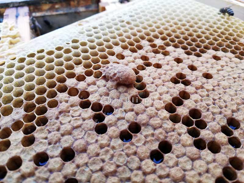 matecznik ratunkowy, pszczoły, ul, ramka, czerw, zasklepiony,