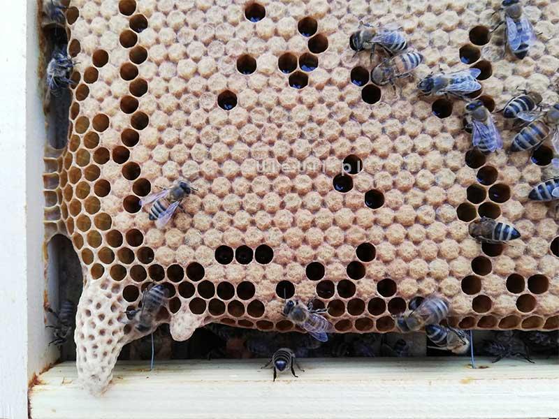 matecznik rojowy, pszczoły, ul, ramka, czerw, zasklepiony,