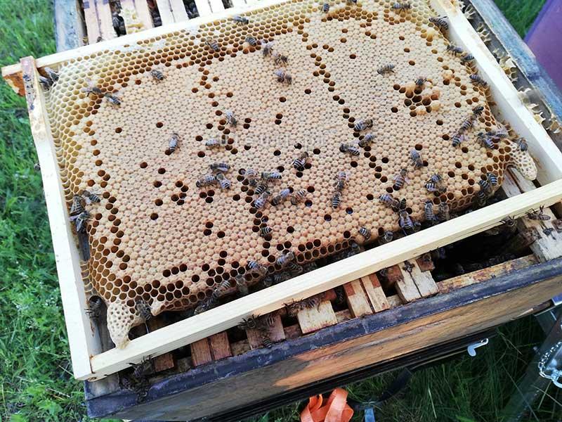 pszczoły, ul, ramka, czerw, zasklepiony,