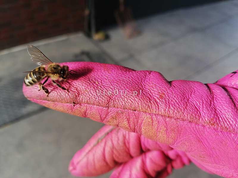 pszczoły nie atakują bez potrzeby