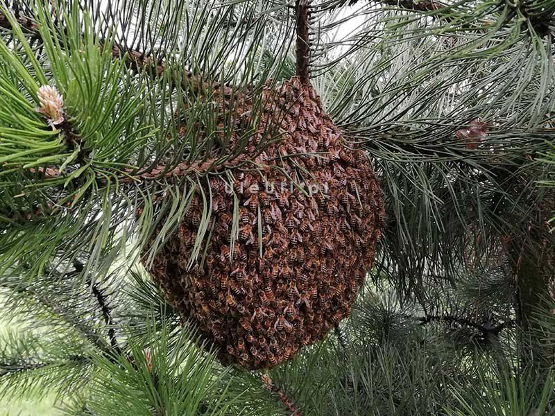 kłąb pszczół na gałęzi sosny - rójka