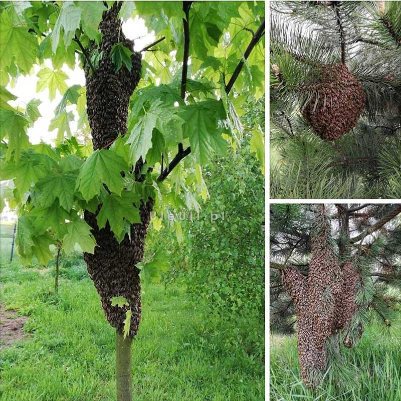 rójka, pszczoły, kłąb,