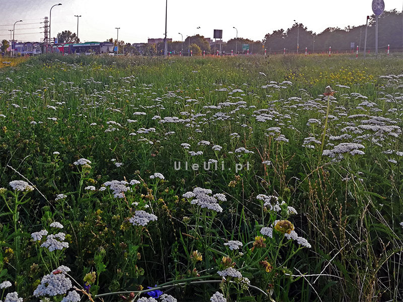 uleuli.pl, łąka kwietna, zieleń w mieście, stołówka dla zapylaczy, koszenie trawników,