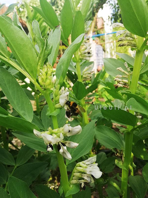 uleuli.pl, pszczoły, trzmiele, bób, zapylanie,nektar,