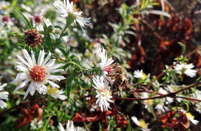 uleuli.pl, marcinki, astry, rosliny miododajne, pszczoły