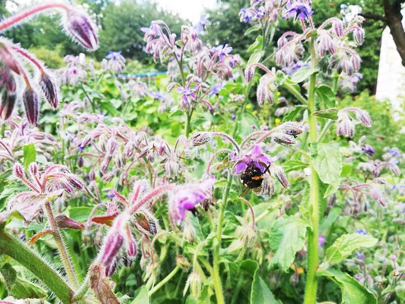 uleuli, ogórecznik, psczoły, zapylacze, zioła,