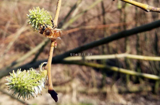 uleuli.pl, wierzba, pszczoły, nektar, pyłek,