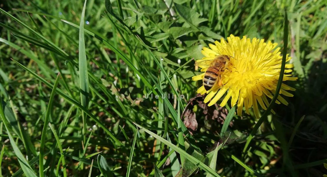 uleuli.pl, mniszek lekarski, pszczoły, miód, pożytki,