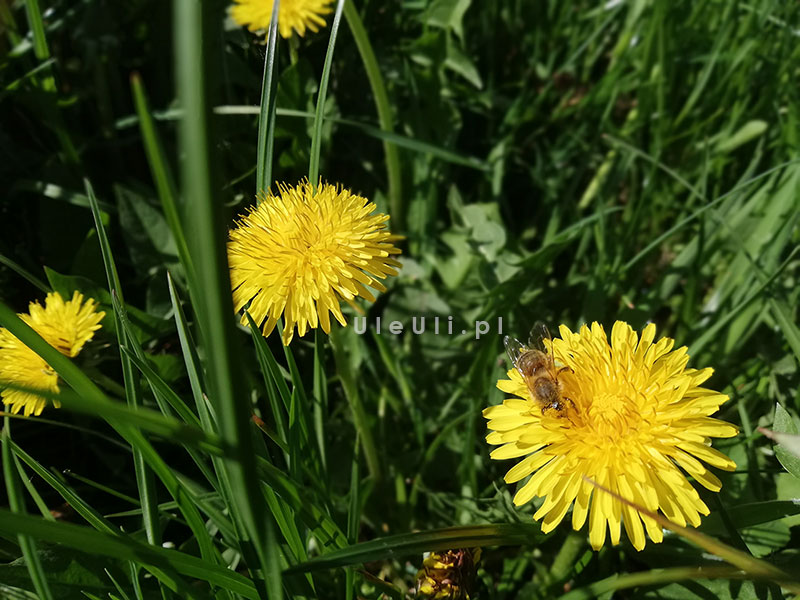 uleuli.pl, mniszek lekarski, pszczoły, baza pożytków, zapylacze,