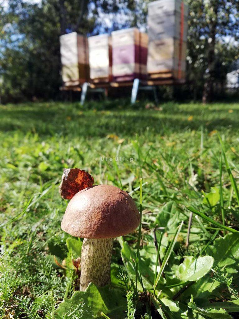 uleuli, pasieka, jesień, grzyby,