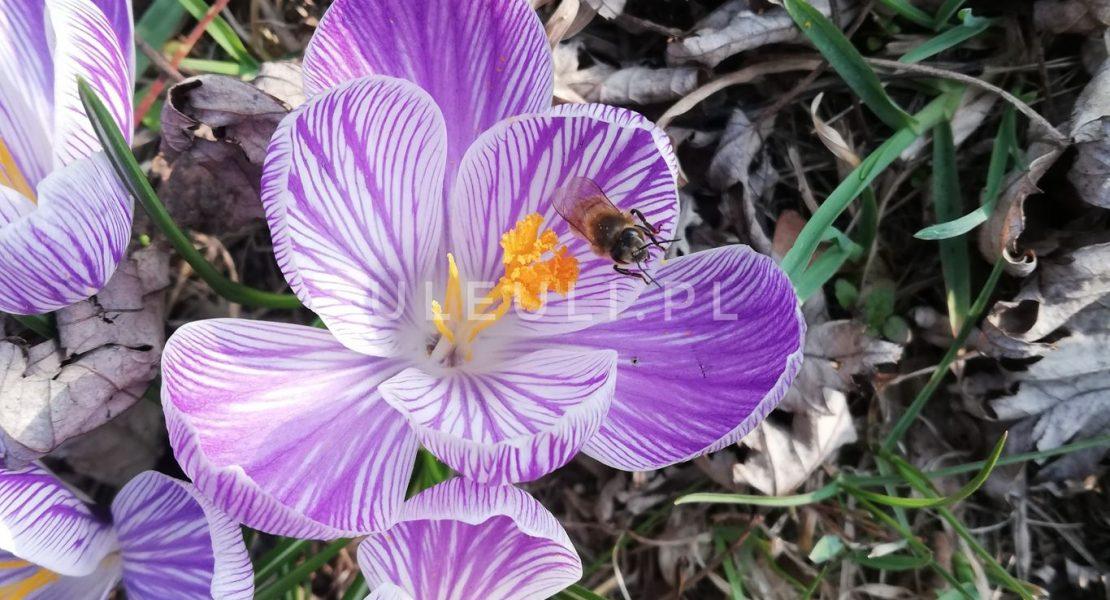 uleuli, krokus, pszczoła, rośliny przyjazne zapylaczom,
