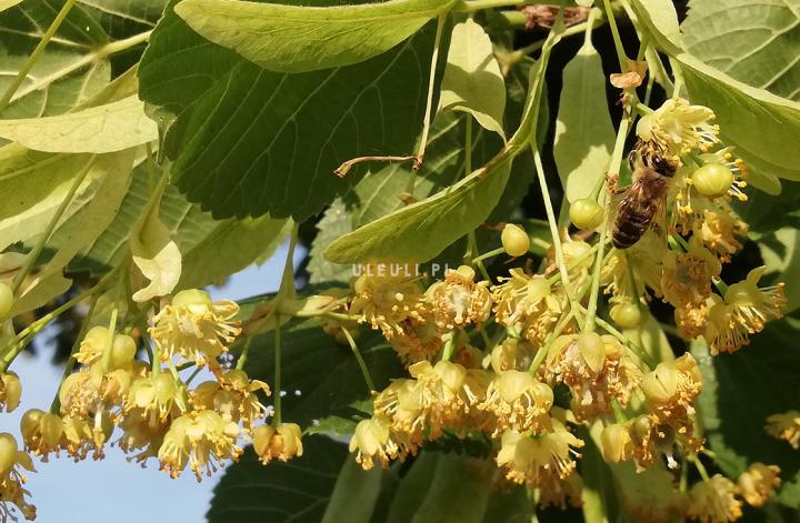 lipa, drzewo, rośliny przyjazne zapylaczom, ule uli, pszczoły,