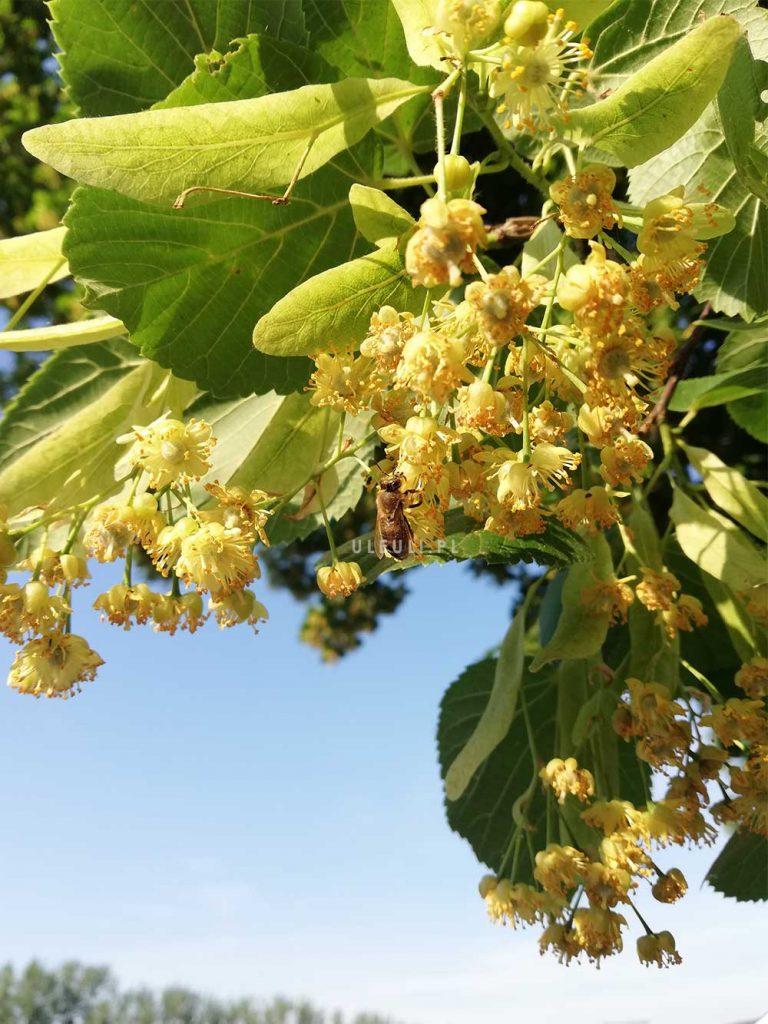 lipa, kwiat, rośliny przyjazne zapylaczom, ule uli, pszczoły,