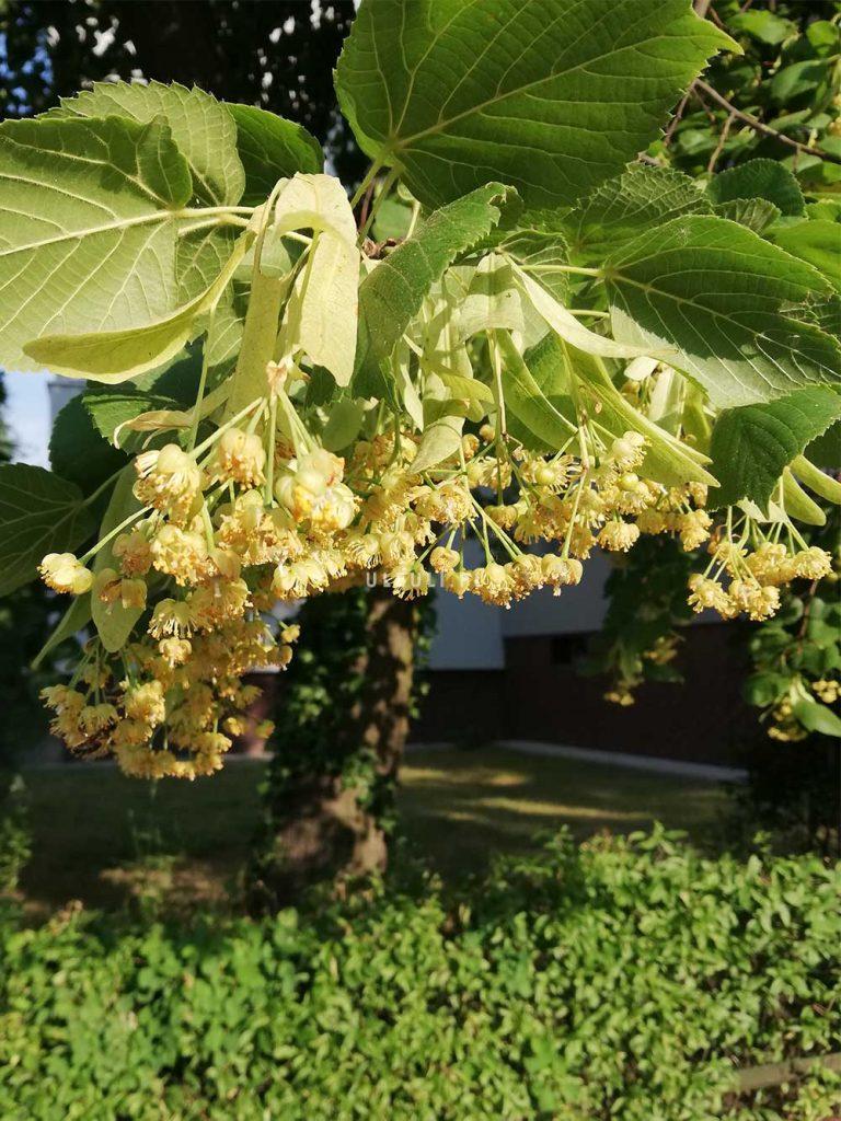 lipa w mieście, rośliny przyjazne zapylaczom, ule uli, pszczoły,