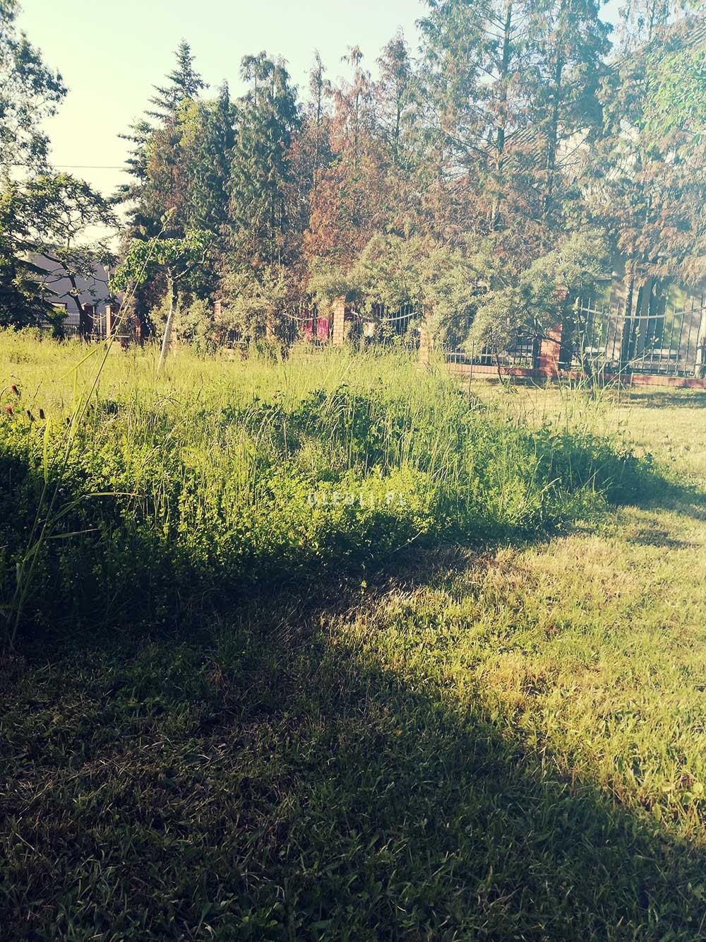 uleuli, fragment nieskoszony, łąka, łąka kwietna, zamiast trawnika,