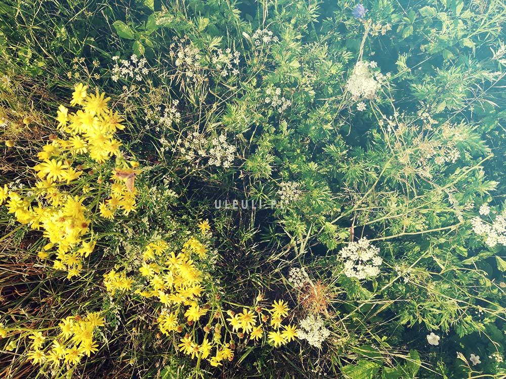 uleuli, zioła, łąka, łąka kwietna, zamiast trawnika,
