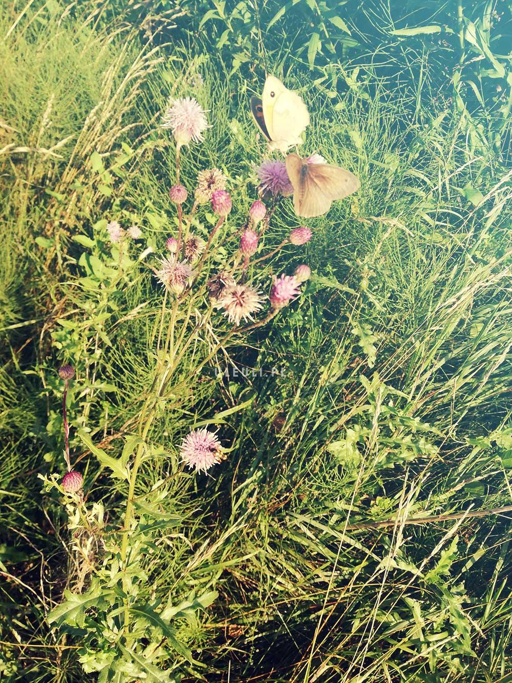 uleuli, motyle, łąka, łąka kwietna, zamiast trawnika,